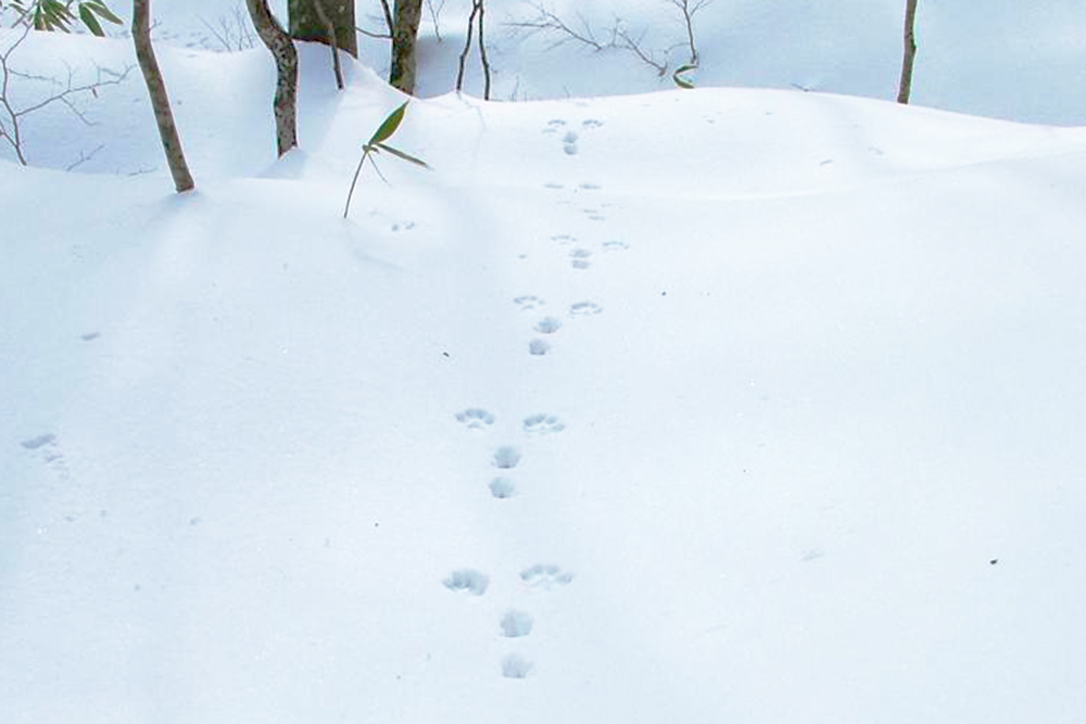 With luck you may run into some local wildlife, like a Japanese serow, a marten, or a hare