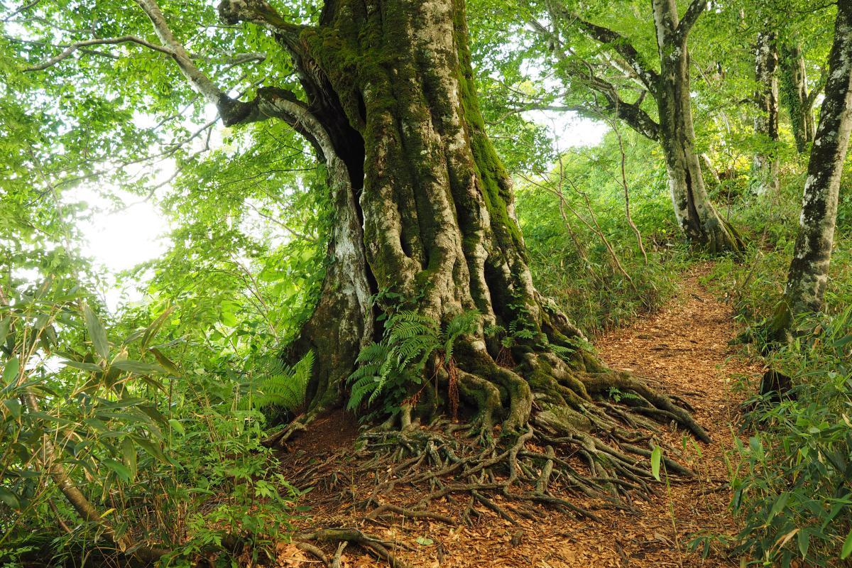 Hiking the Takakura Woods in Shirakami sanchi