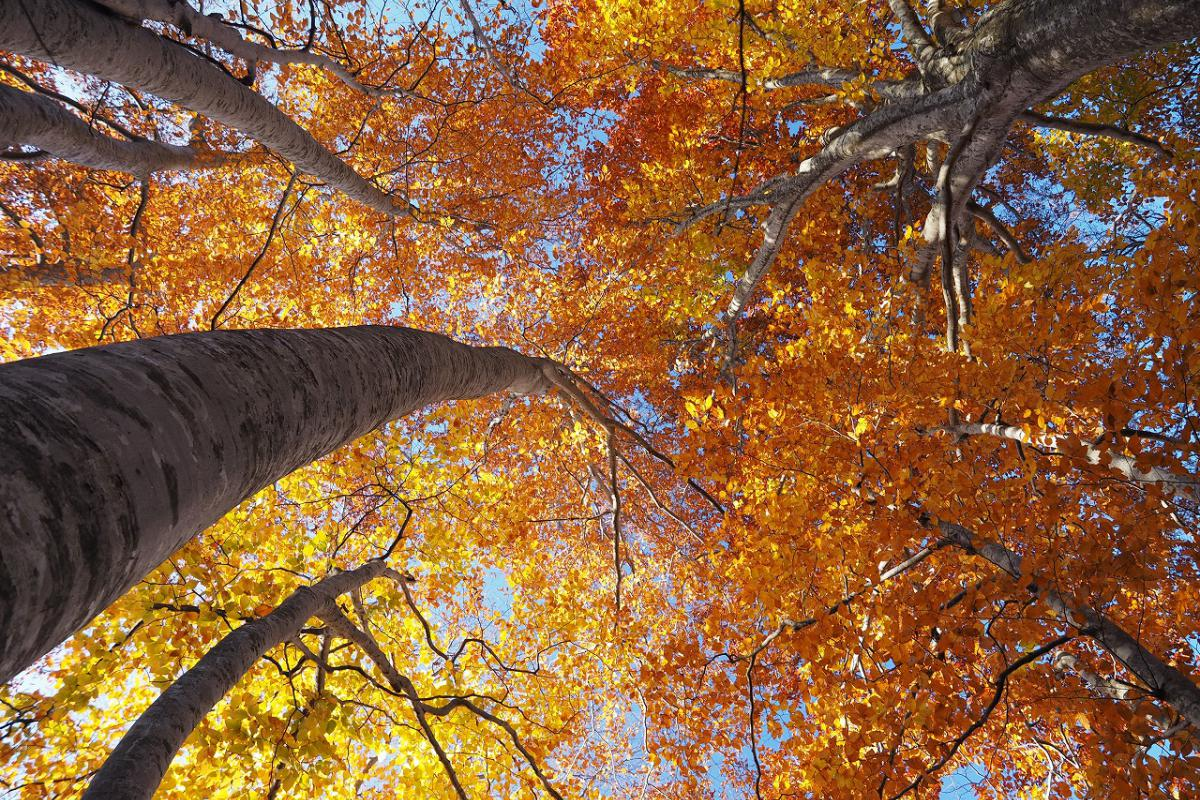 in autumn, the bright yellow leaves of the beech forest